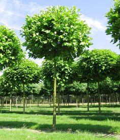 Sester Farms Michred Mountain Rowan Latin Name Sorbus