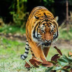 Tiger Tiger ever so bright!