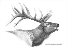 Drawing of Pencil Rocky Mountain Elk Images, Elk Pictures, Deer Art, Moose Art, Animal Drawings, Pencil Drawings, Tattoo Drawings, Elk Drawing, Cow Sketch