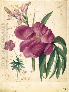 a sheet of studies of flowers  a Peony, a Spanish Iris, a Wild Geranium