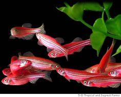 fluorescent zebrafish