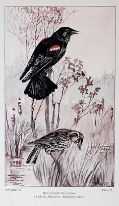 Blackbird & Purple Finch Vtg Illustration, 2 sided