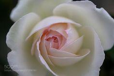 Rose by taktix-i. @go4fotos