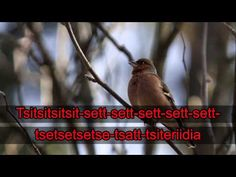 Lintukaraoke: Peippo (video 0:53). Science Biology, Closer To Nature, Teaching Tips, Science And Nature, Geography, Picture Video, Environment, Education, Learning