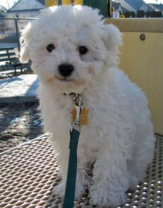 bichon frise puppy. i love these dogs.