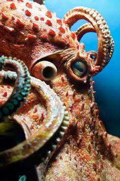 Octopus Animal Symbolism: Octopus Meaning on Whats-Your-Sign Octopus Tattoo Design, Octopus Tattoos, Tattoo Designs, Octopus Tentacles, Octopus Art, Octopus Photos, Octopus Mermaid, Beautiful Sea Creatures, Deep Sea Creatures