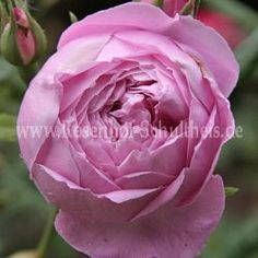 Reine Victoria - Rosa - Rosa_borbonica - Historische_Rosen - Rosen - Rosen von Schultheis