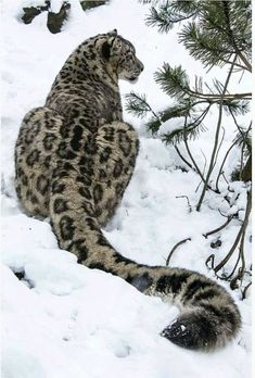 SNOW LEOPARD....aka ounce....a large cat found in the alpine and sub-alpine mountain ranges of Central and South Asia....measure 30 to 60 inches long with a 31 to 39 inch tail.....stands 24 inches tall at the shoulder....unable to roar....2015 was the international year of the snow leopard....only 4,500 to 8,745 estimated in the world (2016)....in 2008 zoos housed around 600