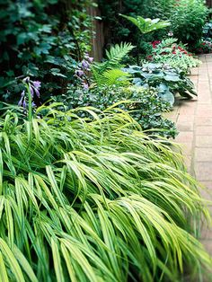 "japanese forestgrass shade perennial. waterfall-like, variegated varieties -- Aureola has bright yellow leaves w/ dark green edges. ""all gold"" has even brighter green foliage. Plant with bold golden hosta."