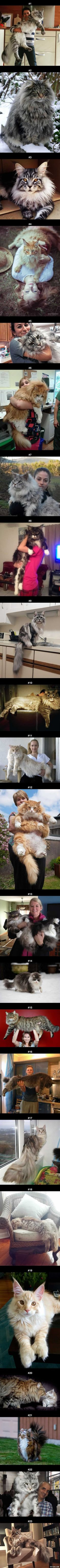 23 Maine Coon Cats That Will Make Your Cat Look Tiny More