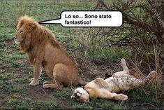 Foto Divertente: Leone soddisfatto e leonessa sdraiata per terra