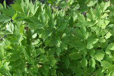 Milujete ligurček? Ak áno, toto všetko musíte vyskúšať! - Záhrada.sk Korn, Herbs, Gardening, Garten, Herb, Lawn And Garden, Horticulture