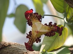 monodora myristica | Explore gmorlando photos on Flickr. gmo… | Flickr - Photo Sharing!