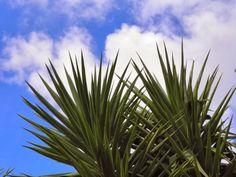 Momentsbook.com: Γιούκα, το φυτό με τα εντυπωσιακά αλλά και επικίνδ...