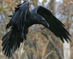 Great Northern Raven, the only thing I miss in Alaska.