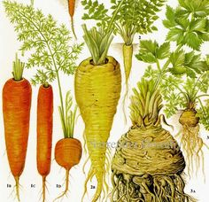 Oooh think of the possibilities...  Carrot Parsnip Celeriac Chart Root Vegetable Food Botanical Lithograph Illustration For Your Vintage Kitchen. $10.89, via Etsy.