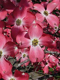 Photo: Red Beauty Dogwood Tree.
