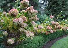 Limelight Hydrangea Garden Design by Johnsen Landscapes & Pools Limelight Hydrangea, Hydrangea Paniculata, Hydrangea Care, Hydrangeas, Hydrangea Landscaping, Garden Landscaping, Back Gardens, Outdoor Gardens, Little Lime Hydrangea