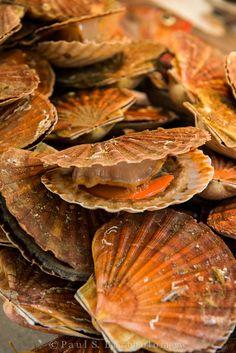 Coquilles Saint-Jacques de sable gratinées