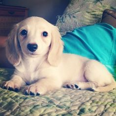 Why Dachshund Puppies Should Be Your New Favorite puppies. Total cuteness and why I love Abby is part Dachshund! Dachshund Puppies, Weenie Dogs, Dachshund Love, Cute Puppies, Cute Dogs, Dogs And Puppies, Doggies, Daschund, Cream Dachshund