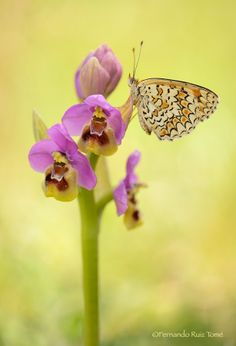 The orchid and the Butterfly by  Fernando Ruiz Tomé on 500px