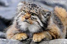 Pallas's Cat | PALLAS'S CAT | Flickr - Photo Sharing!