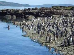 Salmon farmers in Chile are displacing endagered PENGUINS by stealing gravel from Islote Conejos.