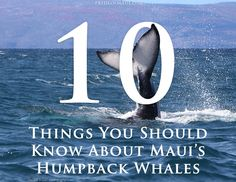 10 Things to Know About Humpback Whales! #Maui