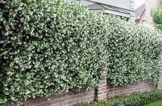 I walk by a wall of jasmine vines every day and love it. Could be a nice thing to have on the interior of the patio. Jasmine Tree, Jasmine Plant, Backyard Garden Design, Yard Design, Front Yard Plants, Backyard Renovations, Backyard Paradise, Garden Types, Perfect Plants