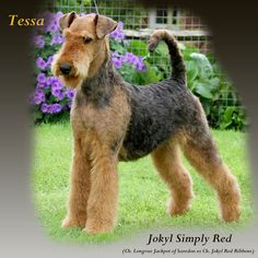 best in show airedale | atc best puppy in show north of england atc best puppy in show west of ...