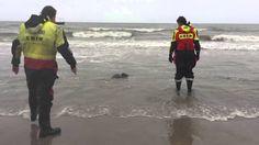 Zeehond gered uit net door KNRM Petten