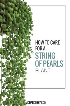 How to Care for and Propagate your String of Pearls Plant - Pflanzen - Plants Succulent Gardening, Succulent Care, Organic Gardening, Container Gardening, Garden Plants, Indoor Gardening, Porch Plants, Hydroponic Gardening, Succulent Garden Ideas