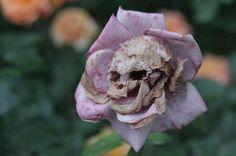 Rosa-caveira... Impressionante a forma de como essa rosa está secando... Aconteceu em um jardim de Notre Dame.  http://diariodebiologia.com/
