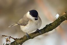 Vtáky Slovenska: Sýkorka hôrna - Parus palustris