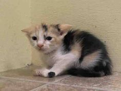 **$151 IN PLEDGES** NYACC **URGENT** BEAUTIFUL CALICO BABY ALERT**  TO BE DESTROYED 7/16/14 Manhattan Center  My name is DAPHNE. My Animal ID # is A1006392. I am a female calico domestic sh mix. The shelter thinks I am about 6 WEEKS old.  I came in the shelter as a STRAY on 07/12/2014 from NY 10463, owner surrender reason stated was STRAY. I came in with Group/Litter#K14-185586…
