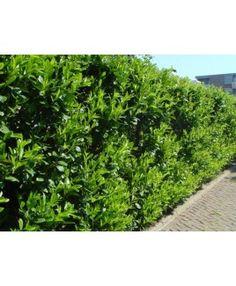 Laurierkers Prunus laurocerasus