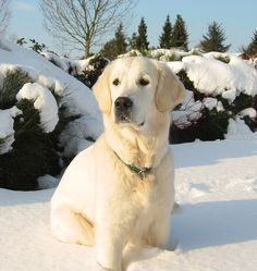 Dog Buried In Snow Google Search Golden Retriever White Dogs Golden Retriever Dog Photos