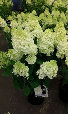 #Hydrangea #SilverDollar; Available at www.barendsen.nl