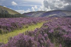 Heather in the Wicklow Gap, County Wicklow, Ireland - photo by John Griffin