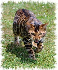 oh my god! my favourite cat in the world! a bengal they are so cool and pretty. i am so gonna ask for one for christmas. thank you mackenzie for introuducing me to this beautiful breed of cat.