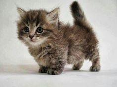Short legs. Munchkin cat.
