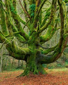 Bigleaf Maple on the Olympic Peninsula