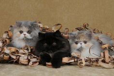 Persian Kittens | Cattery Go Lucky | The Netherlands | www.kittentekoop.nl
