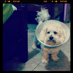 #bichon #theconeofshame