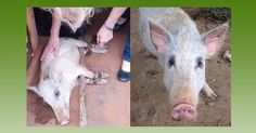 IDA-Africa Founder and Director saves the life of a small pig designated for food and destined for a cruel death.
