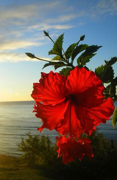 "sunrise hibiscus: ""sunrise at diamond head . only modification was a slight crop on the left side where the light was too intense . gotta love how awesome mother nature is"" --- photo by mzazure Hibiscus Flowers, Exotic Flowers, Tropical Flowers, Beautiful Flowers, Hibiscus Garden, Hibiscus Plant, Hawaii Flowers, Lilies Flowers, Beautiful Images"