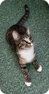 Philadelphia, PA - Domestic Shorthair. Meet Willie, a kitten for adoption. http://www.adoptapet.com/pet/18435598-philadelphia-pennsylvania-kitten
