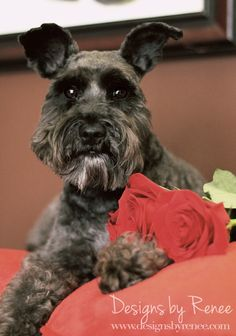Photo of my 3 year old Miniature Schnauzer. This was taken during a valentines day shoot. I love how she looks groomed with her beard cut!-by pinner
