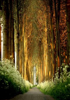 tree tunnel, belgium. spectacular.