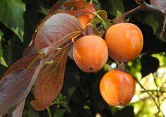I kaki: proprietà, varietà e coltivazione
